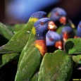 The Rainbow Lorikeets, roosting like starlings, were already squawking in the Pandana palms and bottle-brush trees by the beach right in front of our window when the phone rang. It […]