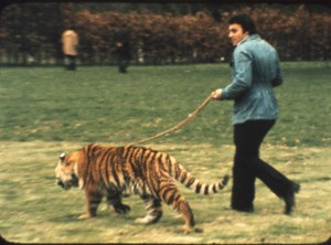 Exercising one of John Aspinall's tigers at Howlett's, near Canterbury – for a long-ago Southern TV programme. Not brave really – the tiger is a lot younger than it looks!